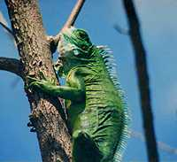 One of the many Iguana lizards you can spot around Carriacou